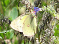 Pink-edged Sulphur, PE County.jpg