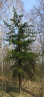 Jack pine species of plant