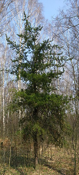 File:Pinus banksiana.jpg