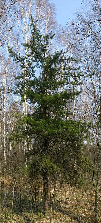 Jack pine - A young jack pine