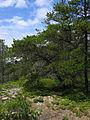 Pinus banksiana trees Maine.jpg