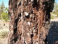 Pinus canariensis PICT3077.jpg