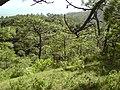 Pinus devoniana forest2.jpg