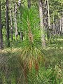 Pinus palustris 15years.jpg