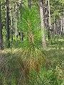 Pinus palustris 15years.jpg