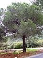 Pinus pinea 2010-3-07 DehesaBoyaldePuertollano 2.jpg