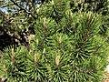Pinus uncinata. Pinu montés.jpg