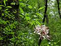Pinxterflower - Flickr - treegrow (1).jpg