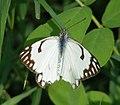 Pioneer Belenois aurota Female (3631601848).jpg