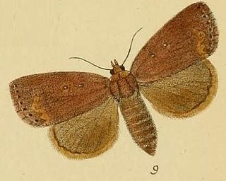 <i>Leocyma</i> genus of insects