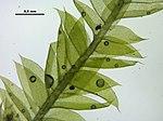 Plagiothecium laetum (a, 144731-481647) 1989.JPG