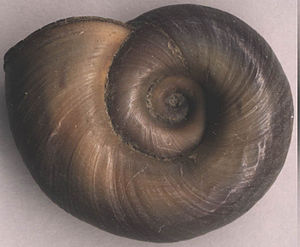 Planorbidae - Planorbarius corneus. View of the umbilicus (held uppermost in life)