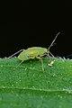 Plant Bug (Miridae) - Mississauga, Ontario.jpg