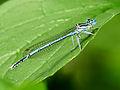 Platycnemis pennipes11.JPG