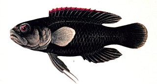 Longfin family of fishes