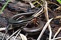 Plestiodon inexpectatus Florida Swamp.jpg