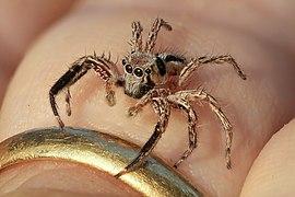 Plexippus petersi (jumping spider) on a human finger at golden hour.jpg