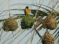 Ploceus cucullatus 050728 23rw.jpg