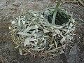 Ploceus cucullatus nest dsc01212.jpg