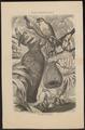 Ploceus hypoxanthus - 1700-1880 - Print - Iconographia Zoologica - Special Collections University of Amsterdam - UBA01 IZ15900005.tif