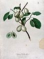 Plum (Prunus species); fruiting branch with sectioned fruit. Wellcome V0043132.jpg