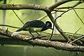 Plush-crested Jay (14469012254).jpg