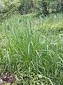 Poa trivialis subsp. trivialis sl30.jpg