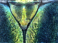 Podanychroma moratiae Vives et al., 2006 Scutellum (10056895416).png