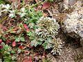 Polycarpaea latifolia Tenerife 3.jpg