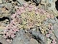 Polycarpaea tenuis Tenerife 1.jpg