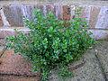 Polycarpon tetraphyllum plant1 (14943130295).jpg
