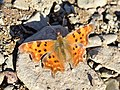 Polygonia c-album basking near Vrachesh, Botevgrad, Bulgaria.jpg