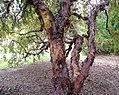 Polylepis australis at Dundee Botanic Garden.jpg