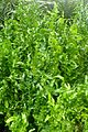 Polypodium 'Green Wave' kz1.jpg