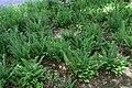 Polystichum acrostichoides 25zz.jpg