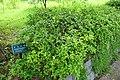 Poncirus trifoliata - Urban Greening Botanical Garden - Kiba Park - Koto, Tokyo, Japan - DSC05413.jpg