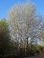 Populus alba Topola biała 2020-04-19 01.jpg