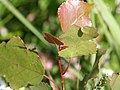 Populus deltoides - eastern cottonwood 0194.jpg