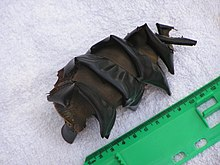 Photo of 12 centimetres (4.7 in) egg case adjacent to ruler, the egg case is a brown ovalish shape, with a spiral band running around it from top to bottom.