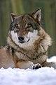 Portrait of a Wolf.jpg