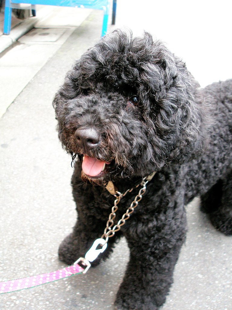 Portuguese Water Dog Breeders Vancouver Island