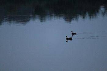 Pragathi nagar pond ducks.jpg