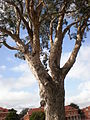Presidio of SF Centennial Tree 1.JPG