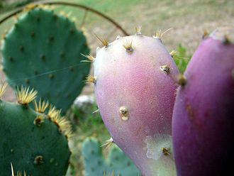 Opuntia - Close-up image of prickly pear fruit: Apart from the large spines, note the glochids (the fine prickles, or bristles) that readily dislodge and may cause skin and eye irritation.