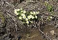Primula - Çuhaçiçeği 02.jpg