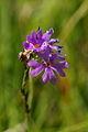 Primula farinosa - Vitranc 1.jpg