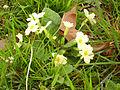 Primula vulgarisElizondo2015.jpg