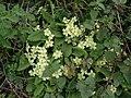 Primula vulgaris 126035595.jpg