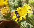 Probably Ceratina species (32741595046).jpg