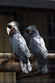 Probosciger aterrimus -Melaka Zoo-8a.jpg